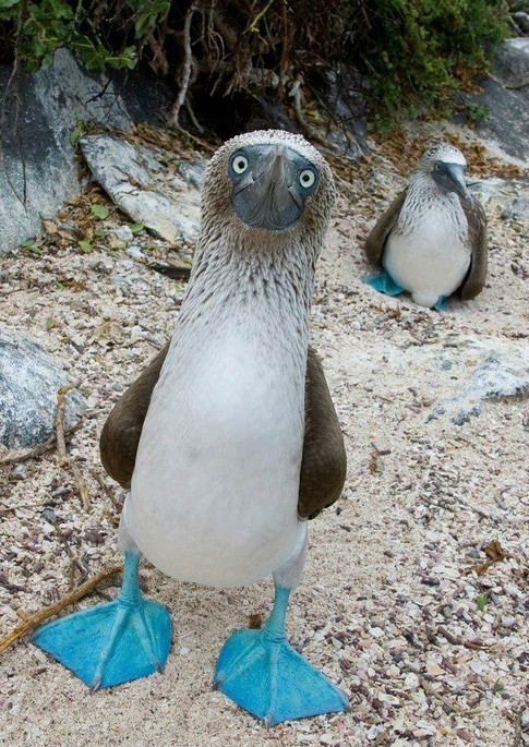 蓝脚鲣鸟 - 奇异珍惜动物 - 90时代
