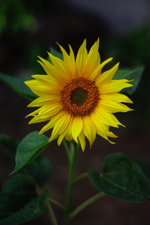 【超清】深色背景唯美花朵手机