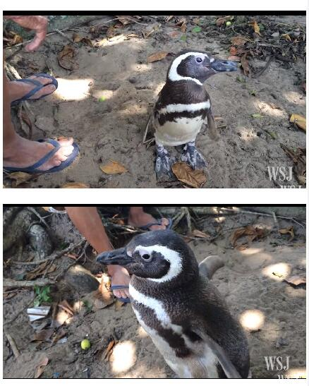 巴西有个老爷爷,每年他都会在海边等着他的小企鹅游回家来看他